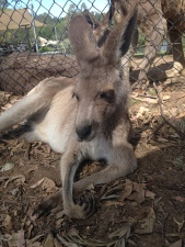 My kangaroo friend